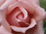A Close View of the Top of a Pink Rose Photographic Print by Todd Gipstein