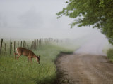A White-Tailed Deer Feeds by a Dirt Road at Cades Cove Photographic Print by George F. Mobley