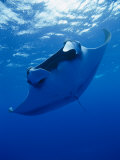 A Manta Ray Glides under the Surface of the Ocean Fotografisk tryk af Brian J. Skerry