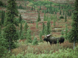 An Alaskan Moose Forages in a Field Photographic Print