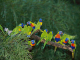 Brightly Colored Lorikeets Perch on a Tree Branch Photographic Print by Nicole Duplaix