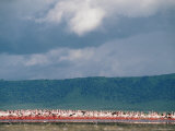 Lesser Flamingos Seen at a Distance on the Bank of the Chobe River Photographic Print by Beverly Joubert