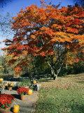 Darlyne A. Murawski - Japanese Maple Trees (Acer Palmatum) in a Garden Fotografická reprodukce