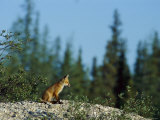 A Juvenile Red Fox in a Boreal Forest Photographic Print by Norbert Rosing