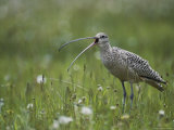 Close View of a Long-Billed Curlew Vocalizing in a Meadow Photographic Print