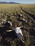 The Skull and Bones of a Long Dead Bovine Lie Scattered Along the Trail Fotografisk tryk af Paul Chesley