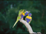 Brightly Colored Lorikeets Perch in a Tree Photographic Print by Nicole Duplaix
