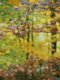 Japanese Maple Leaves Change Colors in the Fall Photographic Print