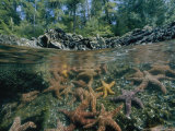 Split Image of Sea Stars and Shoreline Photographic Print by Bill Curtsinger
