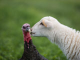 A Katahdin Lamb Gives a Bronze Turkey a Kiss on a Farm in Kansas Photographic Print by Joel Sartore