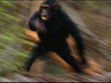 Chimpanzee Running at the Siddles Chimpanzee Orphanage Photographic Print