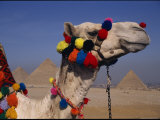 The Pyramids of Giza are Framed by the Brightly-Tassled Head of a Camel Photographic Print by Stephen St. John