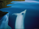 Two Bottlenose Dolphins Swimming Just Below the Waters Surface Photographic Print by Annie Griffiths