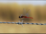 Close View of an Insect Perched on Barbed Wire Photographic Print by Nicole Duplaix