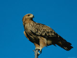 A Tawny Eagle Perches on a Limb Photographic Print by Beverly Joubert