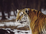 Side View of the Head and Shoulders of an Adult Male Siberian Tiger Photographic Print