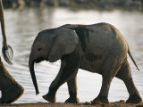 Baby Elephant Follows after its Mother Photographic Print by Nicole Duplaix