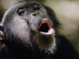 Chimpanzee Vocalizing in Gombe Stream National Park Photographic Print