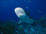A View of the Underside of a Caribbean Reef Shark Photographic Print