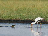A Yellow-Billed Stork Forages in Shallow Water Near a Small Nile Crocodile 写真プリント : ビバリー・ジョーバート