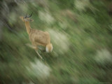 A Reed Buck Sprints Through the Forest Photographic Print by Chris Johns