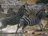 Running Zebras Photographic Print by Nicole Duplaix