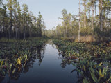 View of Black Swamp Water Covered with Water Lilies and Bordered by Cypress Trees Photographic Print by Joseph H. Bailey