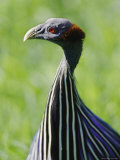 A Close View of a Captive Vulturine Guineafowl Photographic Print by Nicole Duplaix