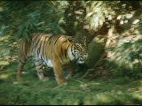 A Sumatran Tiger Walks Through the Grass Photographic Print by Vlad Kharitonov