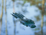 An American Alligator Floats Half-Submerged in Waters at Brookgreen Gardens Wildlife Park Photographic Print by Raymond Gehman
