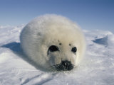 A Newborn Gray Seal Pup Stares Directly at the Camera Photographic Print by Norbert Rosing