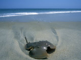 A Horseshoe Crab Washes up on the Beach Near Salvo Photographic Print by Stephen Alvarez