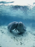 An Underwater Shot of a Pair of Florida Manatees Fotografisk tryk af Brian J. Skerry