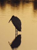 A Silhouette of a Wood Ibis in the Water at Sunset Photographic Print by Nicole Duplaix