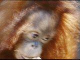 A Motion-Blurred Portrait of a Young Orangutan Photographic Print by Vlad Kharitonov