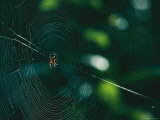 An Orb-Weaver Spider and its Web Sparkle in the Sunshine Photographic Print by Raymond Gehman
