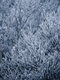 Ice-Coated Birch Tree Branches on Ampersand Mountain Photographic Print by Maria Stenzel