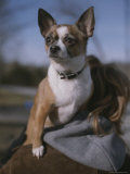 A Pet Chihuahua Rides on its Owners Shoulder Photographic Print by Roy Gumpel