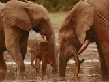 African Forest Elephants Drink from a Water Hole Photographic Print by Michael Fay