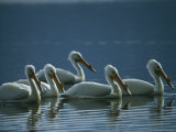 A Group of American White Pelicans Floats in the Water Photographic Print