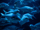 A Group of Dolphin Fishes, Commonly Known as Mahi Mahi Fotografisk tryk af Joel Sartore