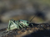 An Alpine Cricket Perched on Stones Photographic Print