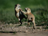 Black-Tailed Prairie Dog Pups Wrestling on a Burrow Photographic Print by Raymond Gehman