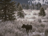A Moose in a Frost-Covered Field, Grand Teton National Park Photographic Print by Raymond Gehman