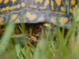 Close View of a Terrapin Photographic Print by Brian Gordon Green