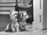 Australian Silky Terriers are Rare in the United States Photographic Print by Willard Culver