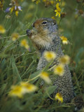 A Columbia Ground Squirrel (Spermophilus Columbianus) Feeds on Wildflowers in a N Alpine Meadow Photographic Print by Michael S. Quinton