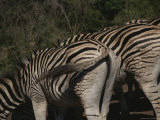 Burchells Zebra in Kruger National Park Photographic Print by Stacy Gold