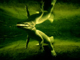 Underwater View of a Rare White Alligator Photographic Print by Joel Sartore