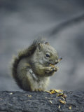 An American Red Squirrel (Tamiasciurus Hudsonicus) Eats the Seeds from a Spruce Cone Photographic Print